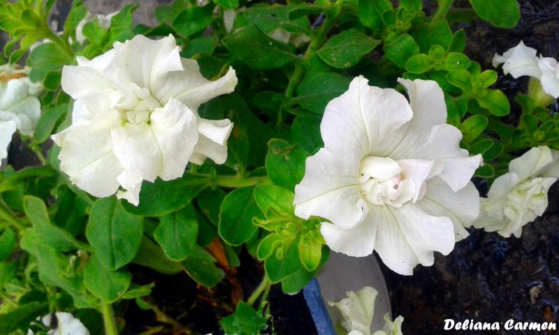 Meanings & symbolism of the Petunia Flower - Tuetego