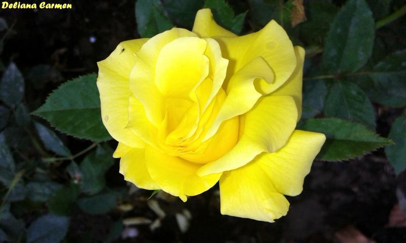 History and meaning of yellow roses tuetego with their optimistic hue and general association with good cheer yellow roses are the perfect way to toast friends lift spirits and send a general wish mightylinksfo